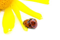 Mating Ladybirds with petal Royalty Free Stock Images