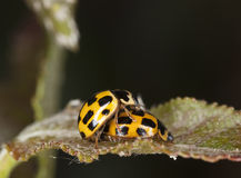 Mating ladybugs Royalty Free Stock Photography
