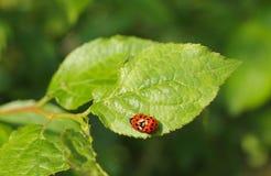 Mating ladybugs. Close photo of mating ladybugs on the green leaf Stock Image