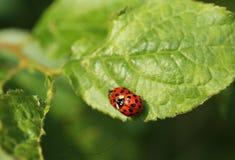 Mating ladybugs. Close photo of mating ladybugs on the green leaf Royalty Free Stock Photography