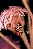 Mating ladybugs Royalty Free Stock Photography