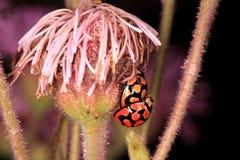 Mating ladybugs Stock Photo