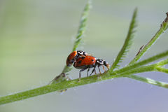 Mating ladybugs Royalty Free Stock Photos