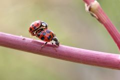 Mating Ladybugs Stock Photography