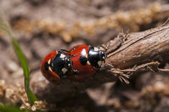 Mating ladybugs Stock Image