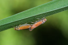 Mating leafhoppers Royalty Free Stock Image