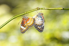 Mating Leopard lacewing Cethosia cyane euanthes butterfly hang stock photo