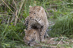 Mating leopards Royalty Free Stock Photo