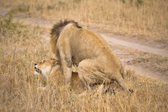 Mating lions stock images