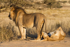 Mating lions. A pair of mating lions in the Kgalagadi Transfrontier Park Royalty Free Stock Image