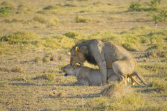 Mating lions Royalty Free Stock Images