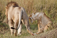 Mating lions. The aftermath. Royalty Free Stock Images
