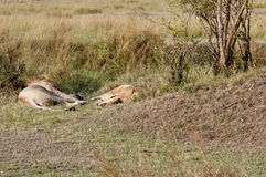 Mating lions. The aftermath, exhausted Royalty Free Stock Image