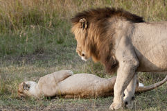 Mating lions. The aftermath, ready again Stock Photos