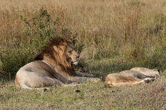 Mating lions, foreplay Royalty Free Stock Photography