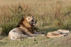 Mating lions, foreplay Royalty Free Stock Image
