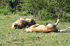 Mating lions in Masai Mara 3 Royalty Free Stock Photography