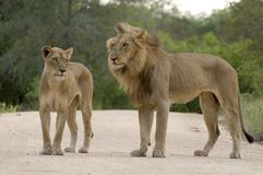 Mating lions (Panthera leo) Royalty Free Stock Photo