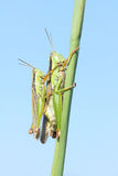 Mating locust Royalty Free Stock Photography