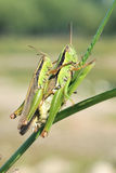 Mating locust Stock Photography