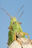 Mating locust Stock Images