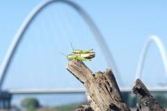 Mating locust Stock Photos