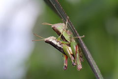 Mating locust in the wild Royalty Free Stock Photography
