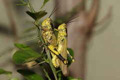 Mating locusts Stock Photography