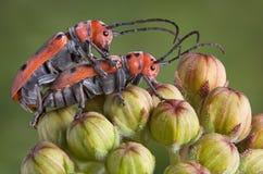 Mating Longhorn beetles Stock Photo