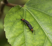 Mating Lovebugs on Green Leaf Stock Photo