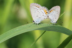 Mating of the Lycaenidae Royalty Free Stock Image
