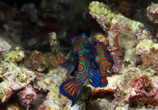 Mating Mandarinfish. (Synchiropus Splendidus), Lembeh Strait, Indonesia Royalty Free Stock Images