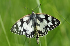 Mating Marbled White butterflies Stock Photos