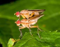 Mating marsh flies Royalty Free Stock Images