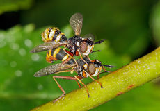 Mating Mating Thick-headed flies. Mating Conopidae (Thick-headed flies) in their natural environment stock image