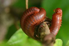 Mating millipedes Royalty Free Stock Photography