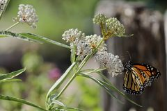 Mating Monarch butterflies flower. Two Monarch butterflies mating on the flower Royalty Free Stock Photography