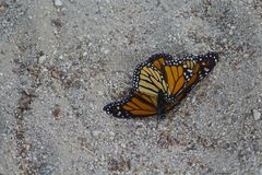 Mating Monarch butterflies Royalty Free Stock Photo