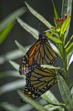 Mating Monarchs. A pair of monarchs mating on a milkweed plant royalty free stock image