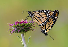 Mating Monarchs Royalty Free Stock Images