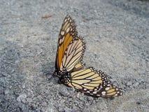 Mating Monarchs Royalty Free Stock Photos