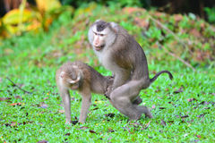 Mating a monkey Stock Photos