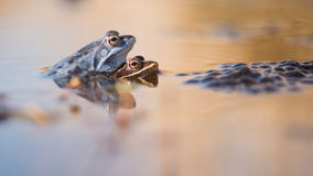Mating moor frogs in the water next to spawn Stock Photo