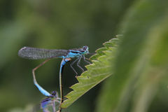 Mating Northern Bluets Royalty Free Stock Photography