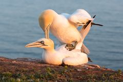 Northern gannets in breeding colony at cliffs of German Helgolan. Mating Northern gannets in breeding colony at cliffs of Helgoland island, Germany stock photography