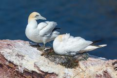 Northern gannets in breeding colony at cliffs of German Helgolan. Mating Northern gannets in breeding colony at cliffs of Helgoland island, Germany royalty free stock photography