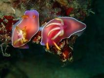The mating nudibranch Hypselodoris bullockii in Tunku Abdul Rahman Park, Kota Kin royalty free stock image