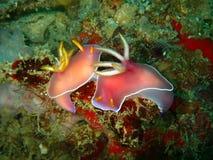 The mating nudibranch Hypselodoris bullockii in Tunku Abdul Rahman Park, Kota Kin stock photo