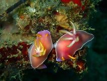 The mating nudibranch Hypselodoris bullockii in Tunku Abdul Rahman Park, Kota Kin stock image
