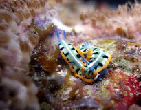 Mating nudibranches. Two mating Purple Crowned Sea Goddess nudibranchs in a popular spot early one morning among the colourful corals of the reef Royalty Free Stock Photography